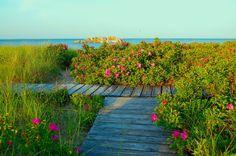 pink beach roses