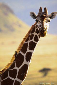 La curiosa boca de las jirafas. ¿sabías que la lengua de las jirafas mide 50 cm? Es decir, ¡medio metro de lengua!  En fin, por otro lado también está el curioso color que tiene este órgano en las jirafas, una mezcla de negro, verde oscuro y azul. Estas oscuras tonalidades le permiten proteger su lengua de las quemaduras del Sol, la cual utiliza para muchísimas cosas. Con su larga y musculosa lengua, las jirafas se limpian los oídos, la nariz y atrapan todo tipo de cosas.