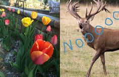 Deer lawd — the easiest way to keep deer from eating your tulips