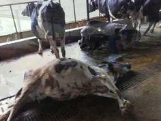 A  field case o Anthrax disease outbreak at Jibachha veterinary hospital