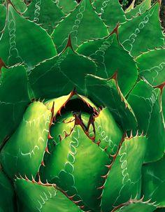 L'agave de montagne est une plante succulente résistante à la sécheresse, endémique des montagnes de la Sierra Madre orientale, au Mexique.