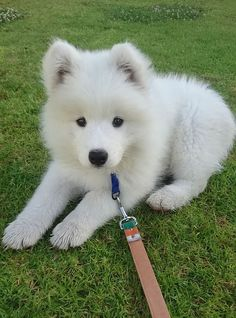 I love this little guy so much already! Meet Nimbus my 10 week old Samoyed pup! … I love this little guy so much already! Meet Nimbus my 10 week old Samoyed pup! via Classy Bro Cute Baby Dogs, Cute Dogs And Puppies, I Love Dogs, Doggies, Cutest Dogs, Boxer Dogs, Big Dogs, Small Dogs, Cute Little Animals