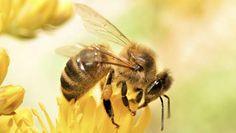 Milieuclubs naar rechter om verbod 'bijengif' af te dwingen - Groen - TROUW