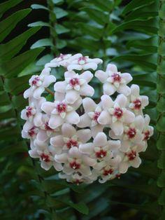Wax Plant (Hoya carnosa) One of the many species of Hoya that are native to Eastern Asia and Australia.