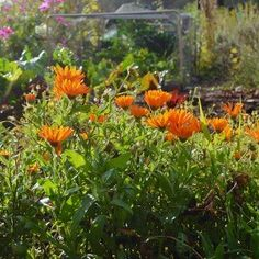 Complete Guide on how to grow Calendula Flowers including tips on sowing, growing, saving seed, ways to use it as a companion plant, and the best cultivars for medicinal use Castile Soap Recipes, Homemade Soap Recipes, Calendula, How To Propagate Lavender, Water Saving Tips, Peppermint Soap, How To Make Rose, Green Soap, Olive Oil Soap