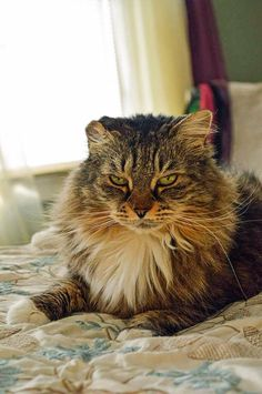 "Regardless of its gigantic size and its provincial look, Maine Coon characteristics is that of a ""delicate goliath"". Maine Coon is exceptionally warm. Maine Coon Kittens, Kitty, Dress, Cuddle Cat, Costume Dress, Gowns, Kitten, Dresses, Vestidos"