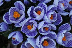 crocus. Harbinger of spring, i miss these since moving to FL, they do not exist here
