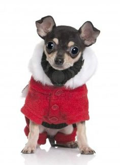 Chihuahua puppy in Santa coat