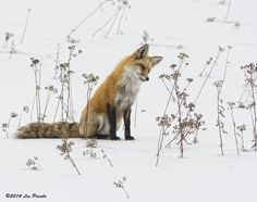 Red fox Concentration by Les-Piccolo Fantastic Fox, Fabulous Fox, Beautiful Creatures, Animals Beautiful, Animals And Pets, Cute Animals, Wild Dogs, Fox Art, Tier Fotos