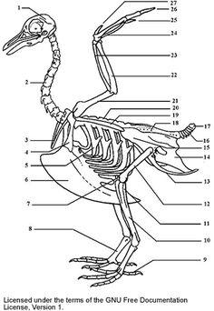 pigeon skeleton diagram animal drawing pinterest wiring diagram today109 best bird skeletons images in 2012 skeleton, skeletons, gull pigeon skeleton diagram animal drawing pinterest