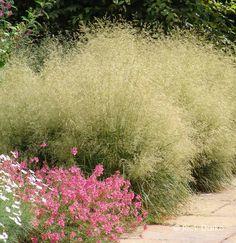 Deschampsia cespitosa 'Goldtau' - Gold Dew Tufted Hair Grass