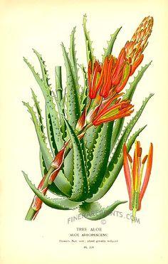 Antique print: picture of Tree Aloe (Aloe arborescens) - South Africa