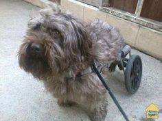 Handicapped dog still gets around in his doggy wheelchair #millionpets