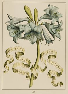 Narcissvs indicvs liliacevs