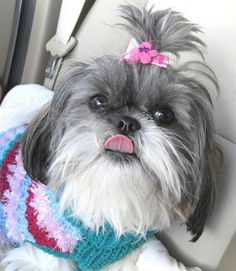I have had Shih Tzus of many different colors, but I have never had a grey and white - WANT!