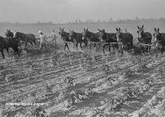 1938 Cultivating Cotton at Lake Dick, Arkansas, Gee and Haw Grandpa! Dad saw His Dad do this!