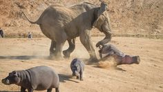 This is Sparta!!!! Momma hippo got taken out!!