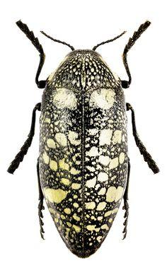 Sternocera syriaca genrei