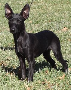 Xoloitzcuintli Training Coated Xoloitzcuintli ...