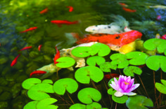 Lilys and Koi fish...great combination #pond #koi #lily #Tetrapond