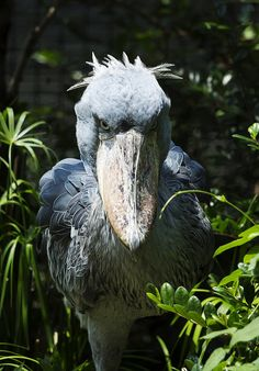 serious shoebill storkハシビロコウ Photo by Yumi flickr