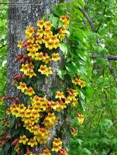 Bignonia capreolata - Crossvine - is beautiful on a trellis too.