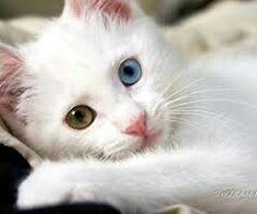 Török Angóra Cat