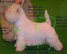 toilettage idal                                                                                                                                                                                 Plus West Terrier, Yorshire Terrier, West Highland Terrier, Dog Grooming Styles, Dog Grooming Tips, Pet Shop, Puppy Cut, Westies, Dog Care