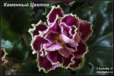Каменный Цветок (6фото) - Фиалки на Алтае