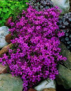 plantes couvre sol: phlox subulata violet dans le jardin de rocaille