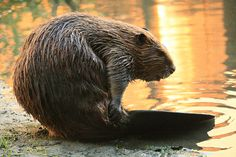 Love Vanilla Flavoring? That's the Sweet Smell of a Beaver's Backside!
