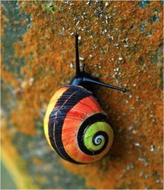 El fascinante caracol terrestre de Cuba   LaReserva
