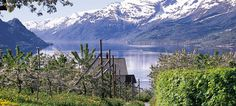 The Sørfjord in Ullensvang, Norway Tour suggestions in Hardanger Join a cruise on the Hardangerfjord, go glacier walking on Folgefonna or choose a round trip by car. Norway Tours, Music Museum, Scenery Pictures, Sweden Travel, Overseas Travel, Fjord, Round Trip, Where To Go, Great Places