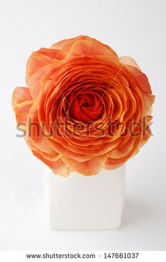 ranunculus oil painting - Google Search