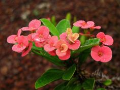 In the right setting, Euphorbia crown of thorns bloom almost year round. So if you're looking for a plant that thrives in the conditions inside most homes, try the crown of thorns plant. Read here for more info.