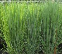 Northwind Switch Grass; good for low light.  Beautiful blue-green foliage.