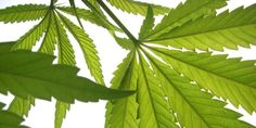 The Complete Guide To Growing Marijuana Naturally