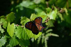 Butterfly - Oscar Scherrer State Park, Florida