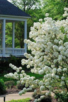 Snowball Bush via A NOT so secret garden/Facebook