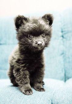 Adorable Little Fluffy Pomeranian Puppy Teddy Bear, Aww! - 23 Chubby Puppies Mistaken For Teddy Bears Black Pomeranian Puppies, Chubby Puppies, Dogs And Puppies, Chow Puppies, Pomeranian Haircut, Funny Puppies, Puppy Chow, Bear Dog Breed, Teddy Bear Dog
