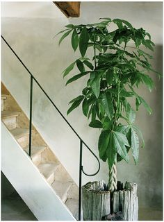 Indoor Trees, Potted Trees, Trees To Plant, Indoor Plants, Plant Leaves, Inside Plants, All Plants, Money Tree Plant Care, Pachira Aquatica