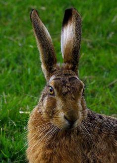 93. Hare  * ( gebruikt bij verf maken groene pot midden rechts nr 7 op schets) *
