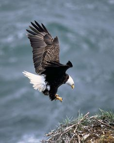 "The Bald eagle (Haliaeetus leucocephalus, from Greek hali ""sea"", aiētos ""eagle"", leuco ""white"", cephalos ""head"") is a bird of prey found in North America. A sea eagle, it has two known sub-species and forms a species pair with the white-tailed eagle (Haliaeetus albicilla). Its range includes most of Canada and Alaska, all of the contiguous United States, and northern Mexico. It is found near large bodies of open water with an abundant food supply and old-growth trees for nesting. The bald…"