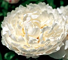 Paeonia lactiflora White Lullaby This voluptuous Double lactiflora hybrid, a Roy Klehm selection, was introduced in 2000. Its well-filled wh...