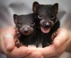 """""""Here's a handful of baby Tasmanian Devil cuteness just for you. These two cuties are from The Australian Reptile Park in where the current…"""" Australian Reptile Park, Australian Animals, Cute Baby Animals, Animals And Pets, Funny Animals, Amazing Animals, Animals Beautiful, Hamsters, Tasmanian Devil"""