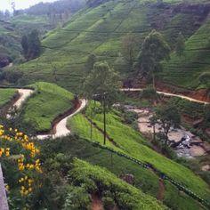 Tea plantation in Nuwara Eliya Sri Lanka
