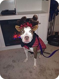 Ridgewood, NY - American Pit Bull Terrier Mix. Meet Maddie a Dog for Adoption.