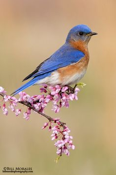 Eastern Bluebird, I'm thrilled anytime I see these.