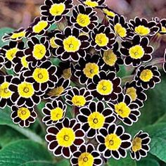 Silver Lace Black Primrose.  For my Shade Patio/Garden