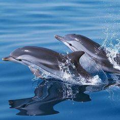 Según un estudio realizado en 2013 por Jason Bruck, de la universidad de Chicago, el delfín tiene una memoria social de al menos 20 años, lo que hace que este mamífero marino sea el que posee la mayor memoria social de los animales. Los delfines producen un sonido desde temprana edad, una especie de silbido único en cada delfín, que representa su nombre a lo largo de toda su vida y que le permite ser identificado por sus semejantes. El estudio, que se realizó sobre 43 delfines, ha revelado…
